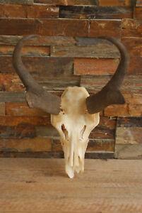 "Pronghorn Antelope Horns European Mount 11"" Cabin Decor Man Cave Lodge"