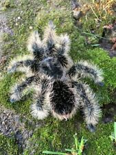 Tarantula Tlitocatl Albopilosum adult Curly Hair pet bugs