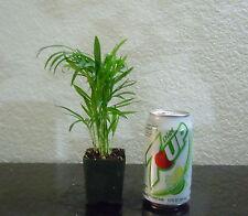 Miniature Parlor Palm tree for indoor/outdoor mame shohin bonsai