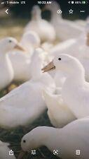 3 Duck Eggs Fertile Hatching Eggs Free Shipping