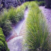 BASKET GRASS SEEDS LOMANDRA LONGIFOLIA LANDSCAPING GRASS COMPACT BULK 200 SEEDS