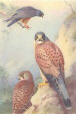 BRITISH BIRDS. Red-Footed Falcon; Kestrel. THORBURN 1925 old vintage print