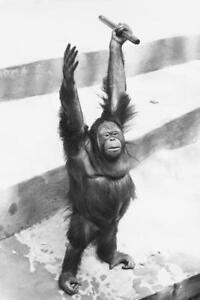 Orangutan Raising Hands with Stick B&W Photo Art Print Poster 24x36 inch