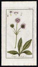 Antique Botanical Print-SCABIOSA-SUCCISIA PRATENSIS-DEVIL BIT SCABIOUS-Zorn-1796