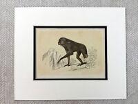 1853 Antique Print Long Armed Ape Borneo Monkey Primate Original Victorian