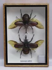 2  XYLOTRUPES GIDEON  - Echte exotische Insekten  im Schaukasten Holz