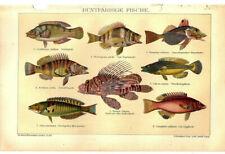 Lithographie Fischarten Original von 1906 Illustration Bild tropische Fische Sea