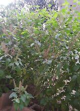 Seeds-Holy Basil/Rama Tulsi- Ocimum tenuiflorum- 30+ Home Garden Seeds(For 2019)