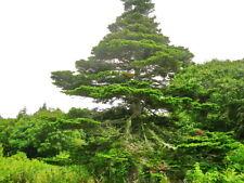 Sachalin Spruce, Sakhalin Spruce (Picea glehnii) 30 seeds