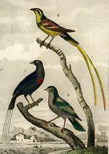 LA VEUVE EN FEU, A DEUX BRIN et LE PAPE oiseau gravure 1819 réhaussée aquarelle