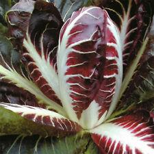 0.25 g (100 pcs) Red Chicory Radicchio vegetable seeds