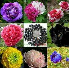 Mixed hybrid tree peony! Various colours! Fresh seeds! Hardy! Rare tropical tree