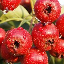 European Hawthorn - Crataegus Monogyna - 50 seeds - Tree - Hedging - Berries