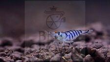 Zebra Babaulti Live Freshwater Aquarium Shrimp - (10 Shrimp)