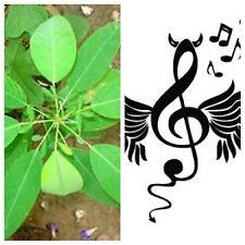Desmodium gyrans, die TANZENDE Pflanze, telegraph plant, 15 Samen, 15 seeds