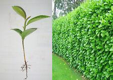 10 PIANTE LAUROCERASO prunus laurocerasus siepe recinzioni siepi cinta hedgerow