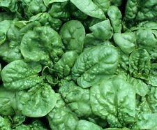 SPINACH SEEDS BLOOMSDALE 100+ vegetable garden LEAFY greens SALAD FREE SHIPPING