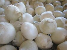 Onion Seeds- Sweet White Spanish Heirloom- 250+ Seeds   $1.69 Max Shipping/order