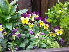 WILDES STIEFMÜTTERCHEN  600 Samen Viola Tricolor Ackerveilchen Schöngesicht