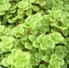GREEN MOUND SEDUM spreading succulent yellow-flowers plant in 135mm pot