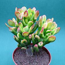 Crassula ovata cv. Gollum Jade, 17,0 cm große ältere Pflanze (270)
