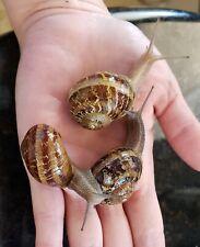 Live Land Or Garden Snails - One (1) Jumbo