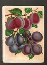1907 Vintage Chase Nursery Rochester Ny~ Plum a/s Color Fruit Illustrations