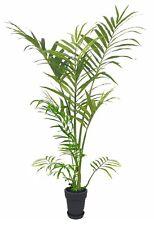 2 Kokospälmchen Palme schnellwüchsige mediterrane robuste Balkonpflanze exotisch