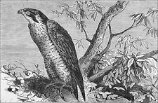 CHASSE: FAUCON PÉLERIN perché sur un arbre au 19e siècle - Gravure 19eme siècle
