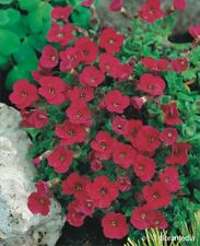 "AUBRIETA ""ROYAL RED"" 30 SEMI - AUBRETIA GRACILIS ROSSA VIABLE SEEDS"