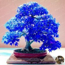 100% real 20pcs Purple blue Ghost Japanese Maple Tree bonsai flower seeds