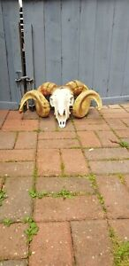 Real Ram Skull With Horns Hoby Goth