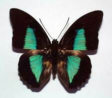 PREPONA EUGENES - unmounted butterfly