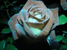Chocolate Mint Rose Seeds (20) - USDA Inspected - Ships Free - USA Seller