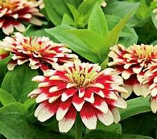 CHERRY & IVORY Zinnia Swizzle, long flowering plants – 6 cell seedling punnet