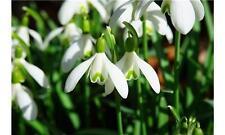 Blumenzwiebeln, Knollen & Rhizome Galanthus