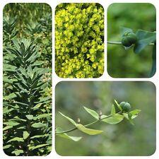 Wolfsmilch Euphorbia lathyris Kreuz-Wolfsmilch Mittel gegen Wühlmäuse