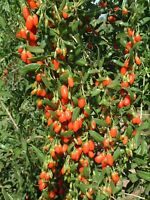 1 Golden Goji Berry Plant *4 inch pot* Lycium Barbarum Very Rare New Variety