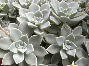Graptopetalum paraguayense Ghost Plant Live Succulent - Free Shipping on $20+!