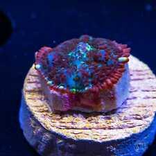Flame Rim Mushroom ~ Wysiwyg Live Coral Frag ~ World Wide Corals ~ #138