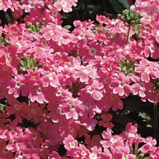 50 Seeds Verbena Obsession Pink Verbena Seeds