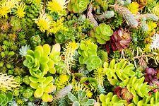 1000+ Samen Sedum Mix >10 Arten - Dachbegrünung - Steingarten - seeds