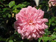 duftende historische Ramblerrose Paul Transon große gefüllte Blüten, im Topf
