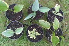 6 x pot luck mixed hosta plants.............