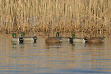 ACTIVE MALLARD DUCK DECOYS AV73103 BY AVERY GREENHEAD GEAR GHG