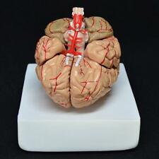 8-PART HUMAN BRAIN WITH ARTERIES ANATOMICAL ANATOMY MODEL M3UK