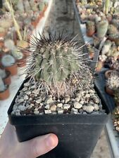 Copiapoa Carrizalensis Pot 12 Eight 14 Multiheads