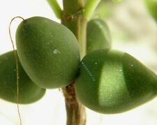 10 fresh seeds of African figs - Dermatobotrys saundersii - Very Rare seeds