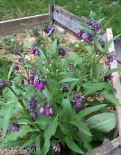 Grande consoude  3 jeune plantes , bio,