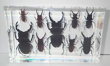 9 Stag Beetle Collection Set clear block KCD005 Education Real Insect Specimen